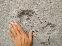 Садху-воришка, моя утренняя прогулка, леопард совсем рядом